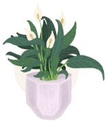 peace lillies plant illustration
