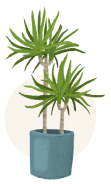 dragon tree plant illustration