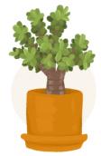 jade plant illustration