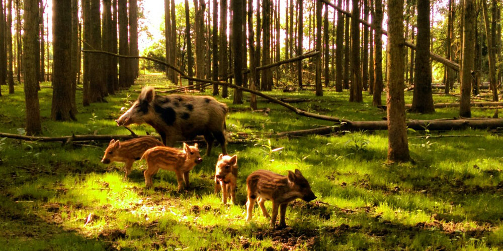 Wild Boar and boarlets in a wood
