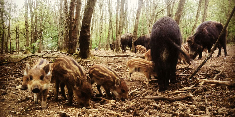 Wild boar foraging in woodland