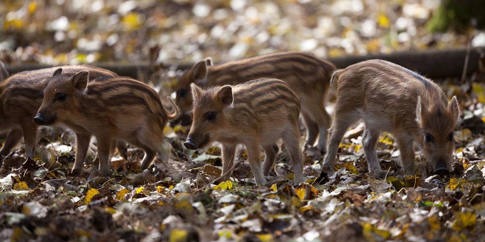 Wild boarlets