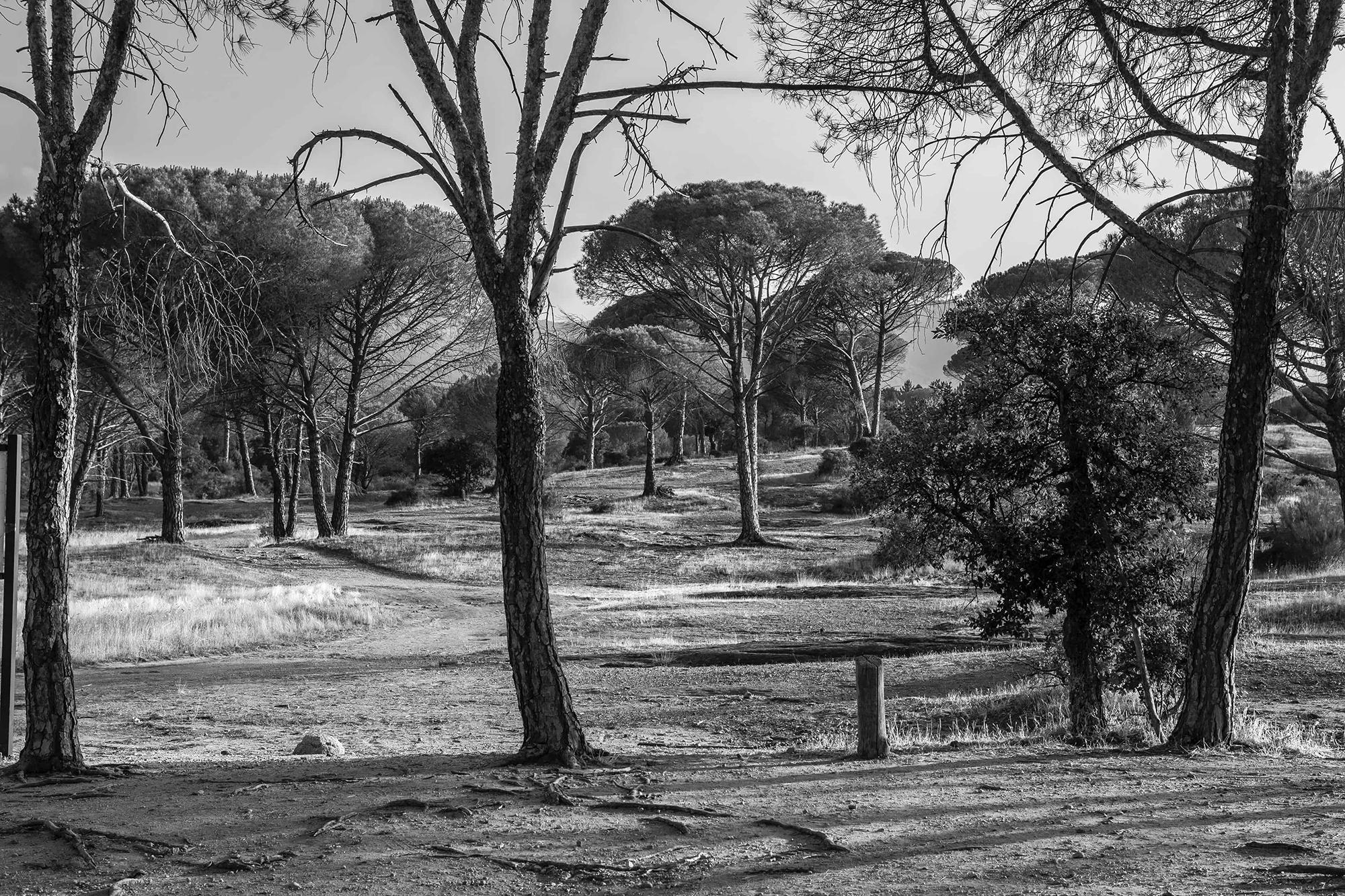 Forêt de pins en noir et blanc