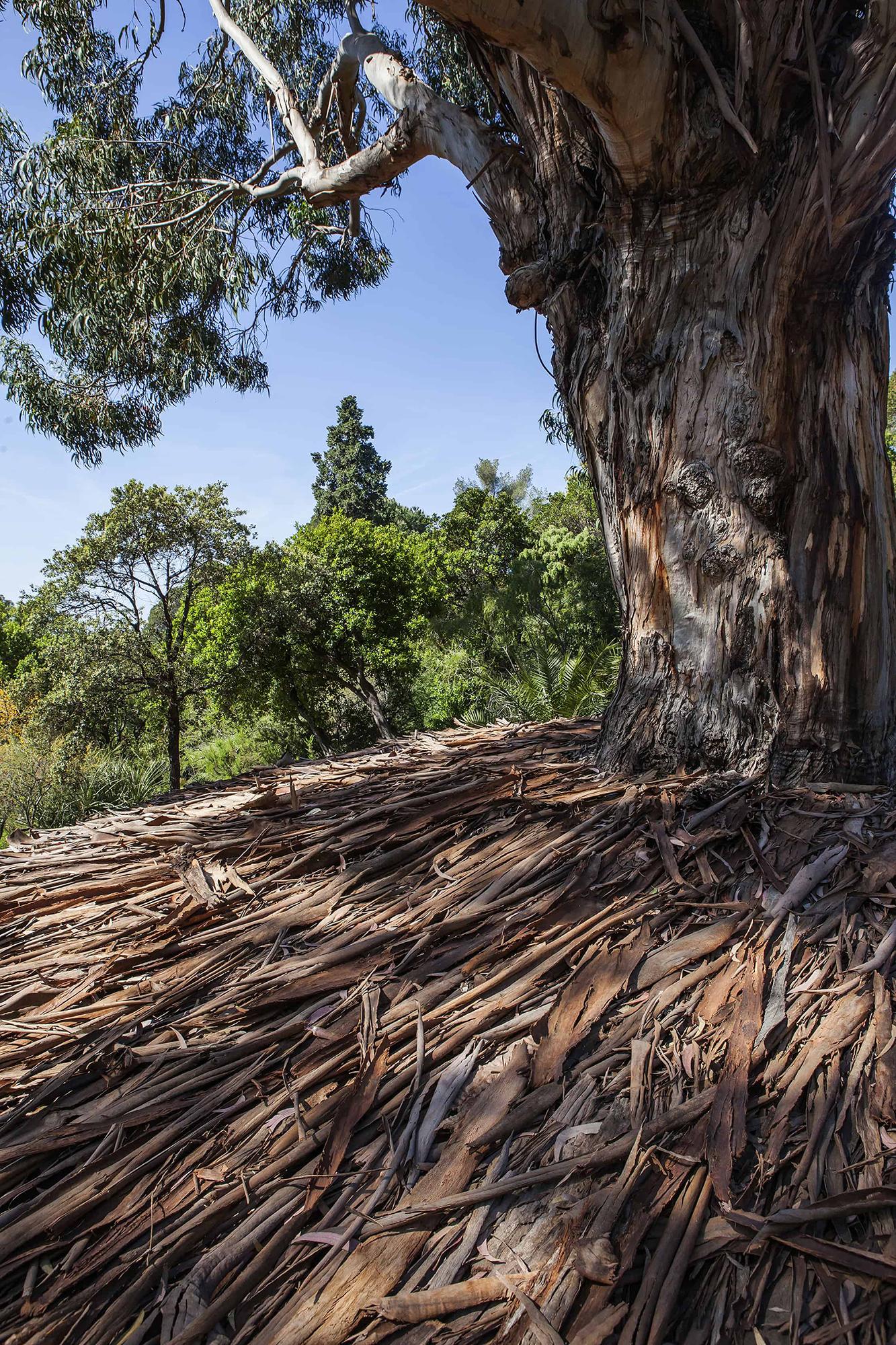 eucalyptus conservatoire du littoral jardin méditerranéen