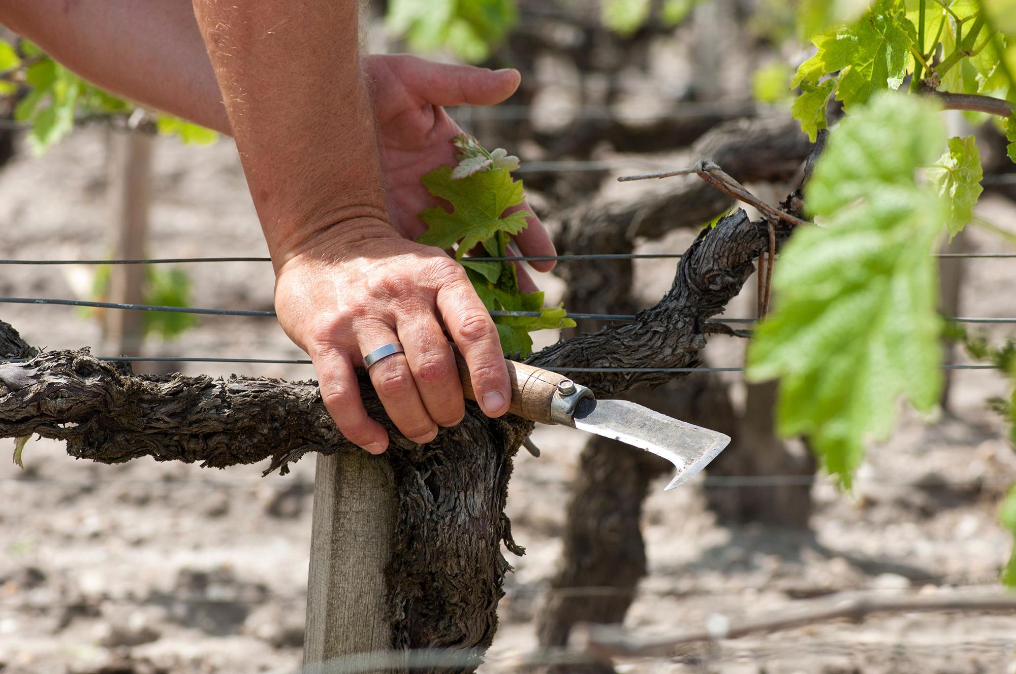 vigneron geste épamprage  printemps Château Montrose