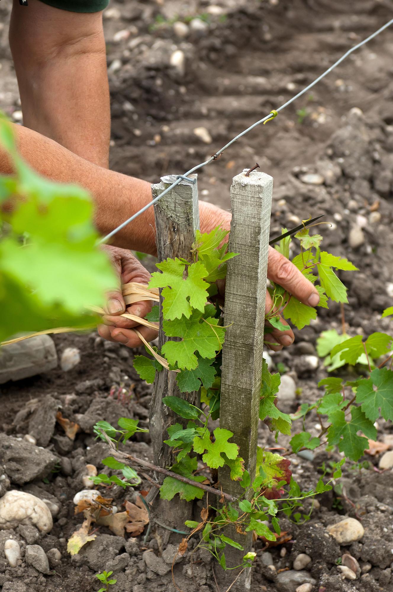 geste de la vigne jeune pousse Château Montrose