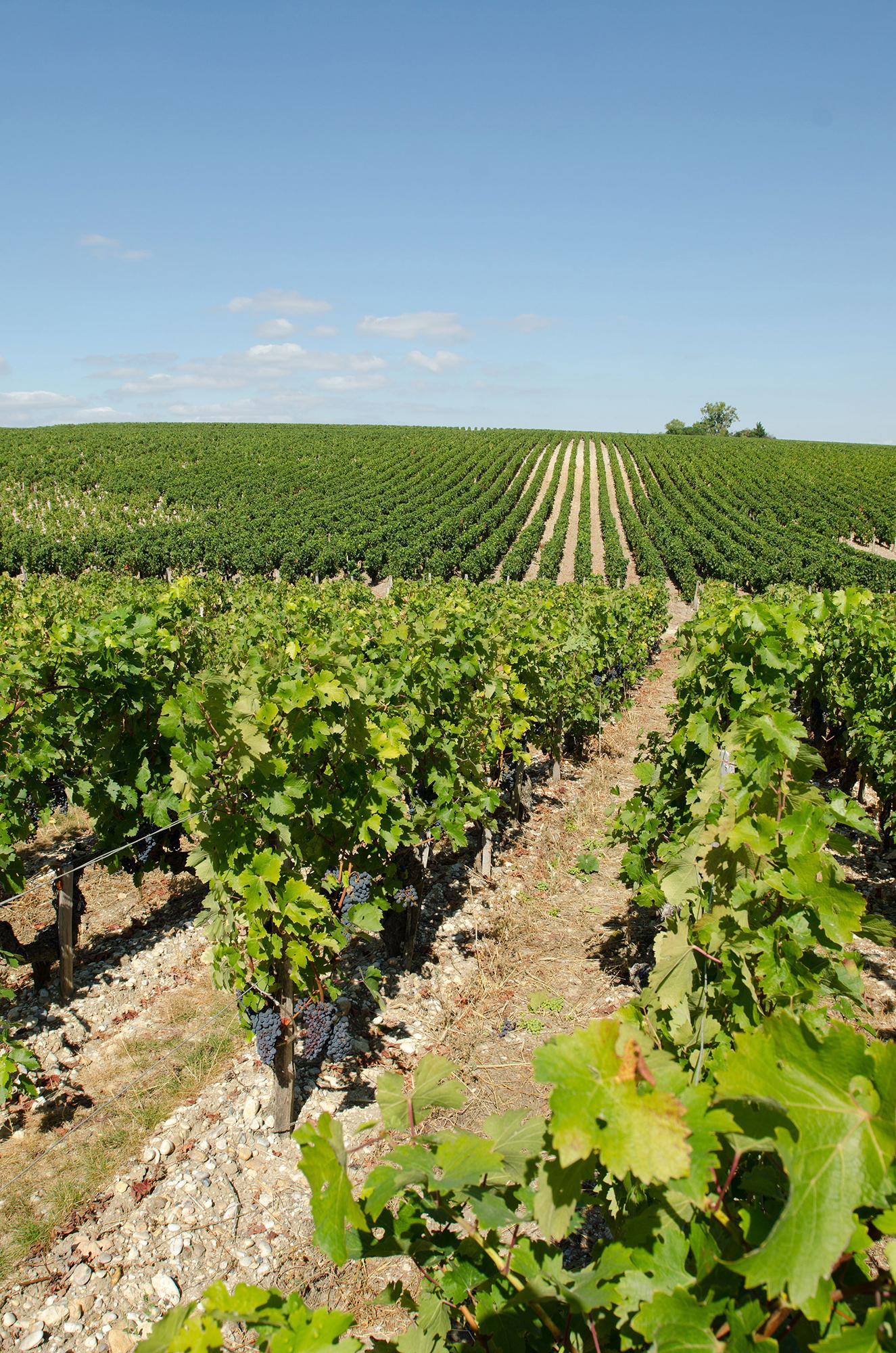 rangs de vigne été St Estèphe depuis Château Montrose