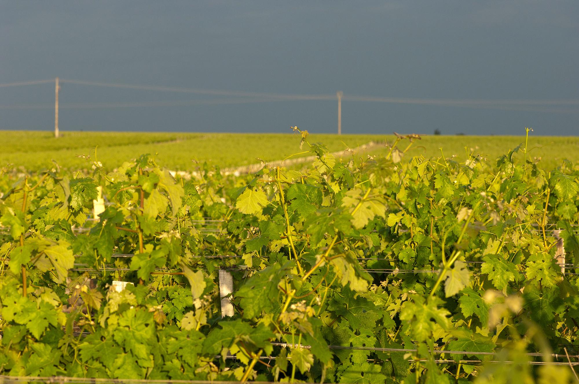 vignes Montrose ciel d'orage printanier