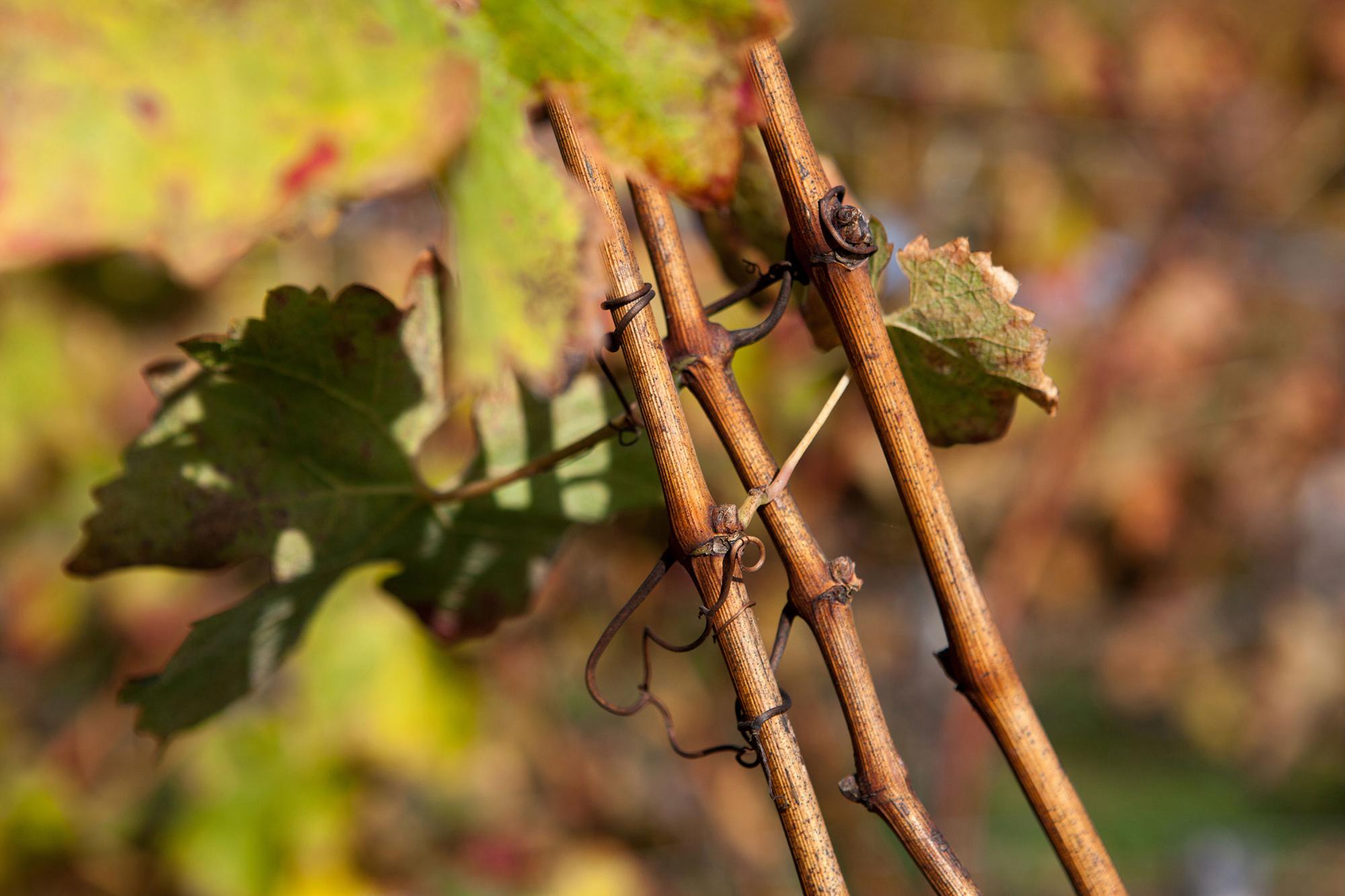 aux couleurs de l'automne vignes sarments