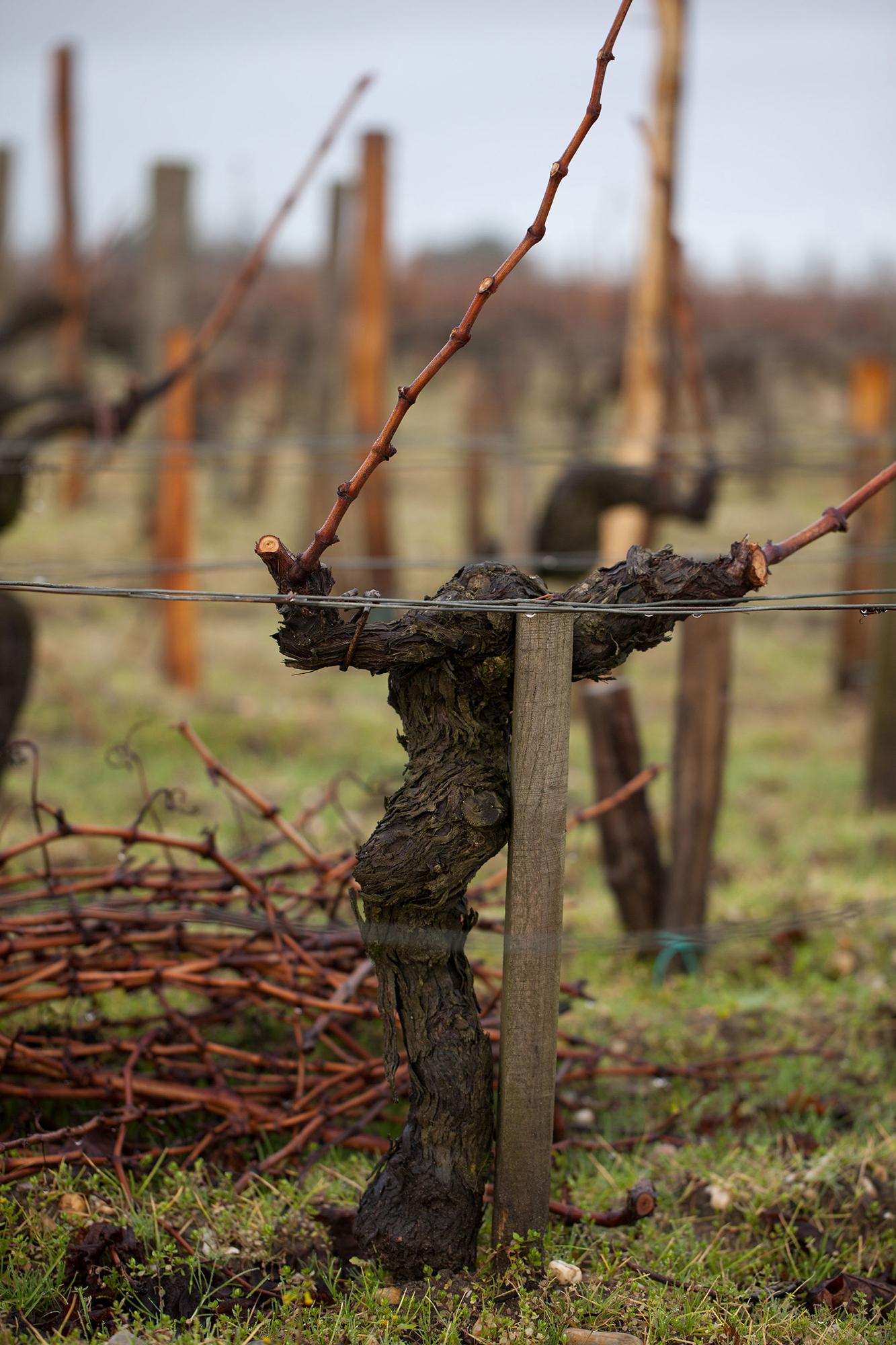 taille hiver pied de vigne sarments Château Montrose
