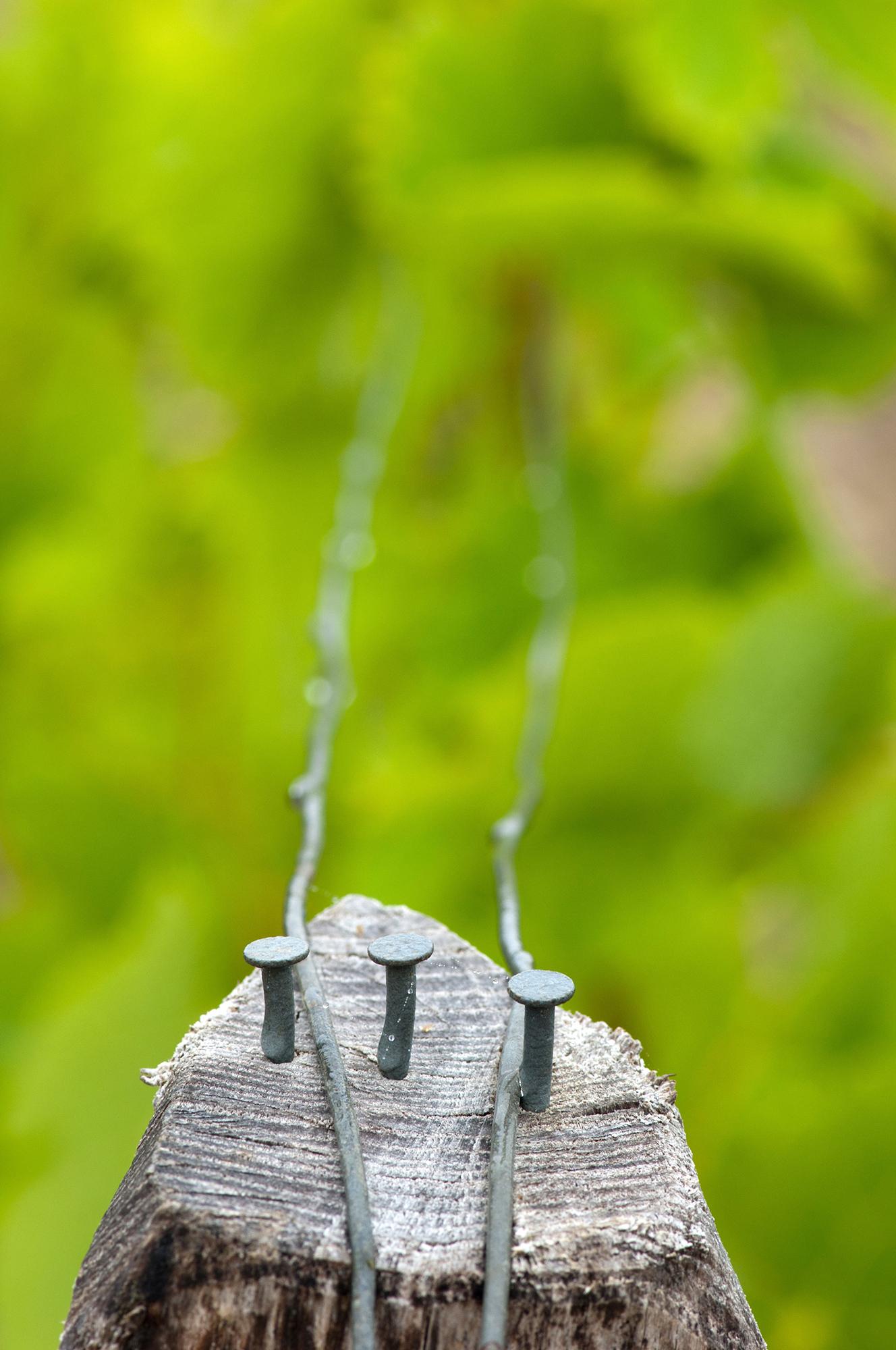 closeup piquet printemps pluie Montrose