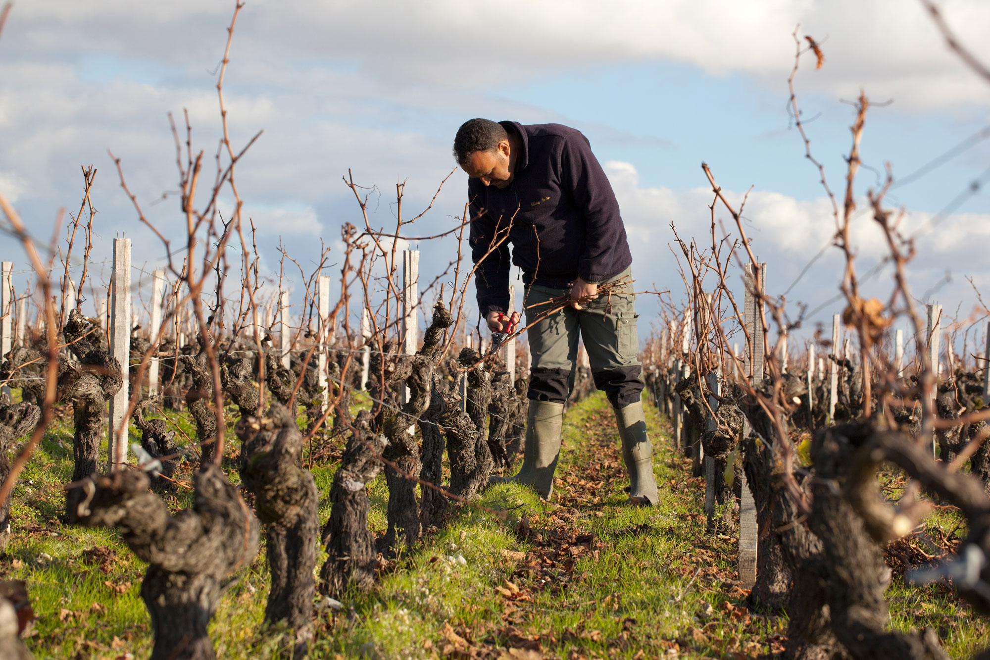 taille hiver dans la vigne vigneron château Montrose