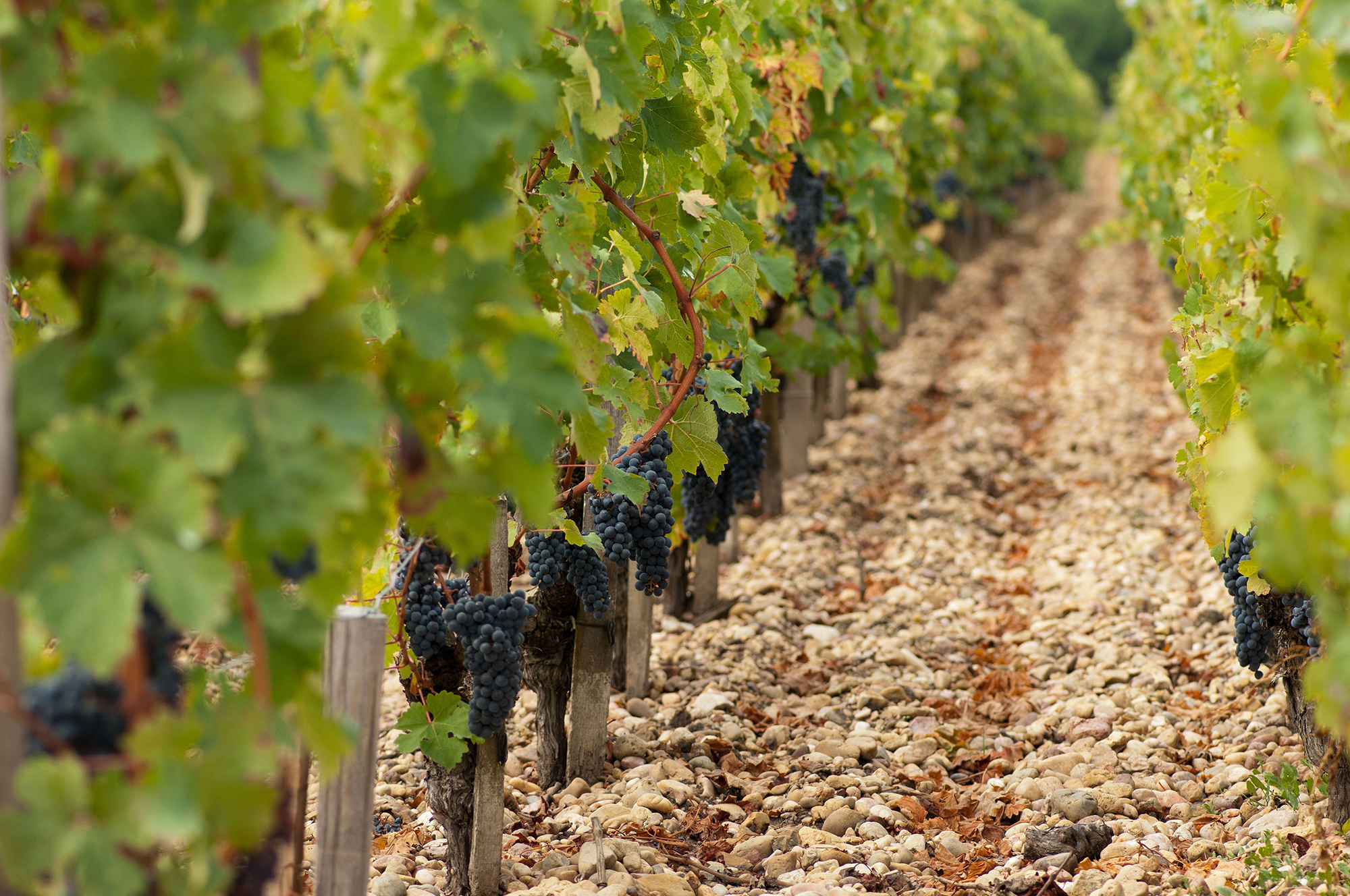 rang de vigne avant vendange Château Tronquoy-Lalande
