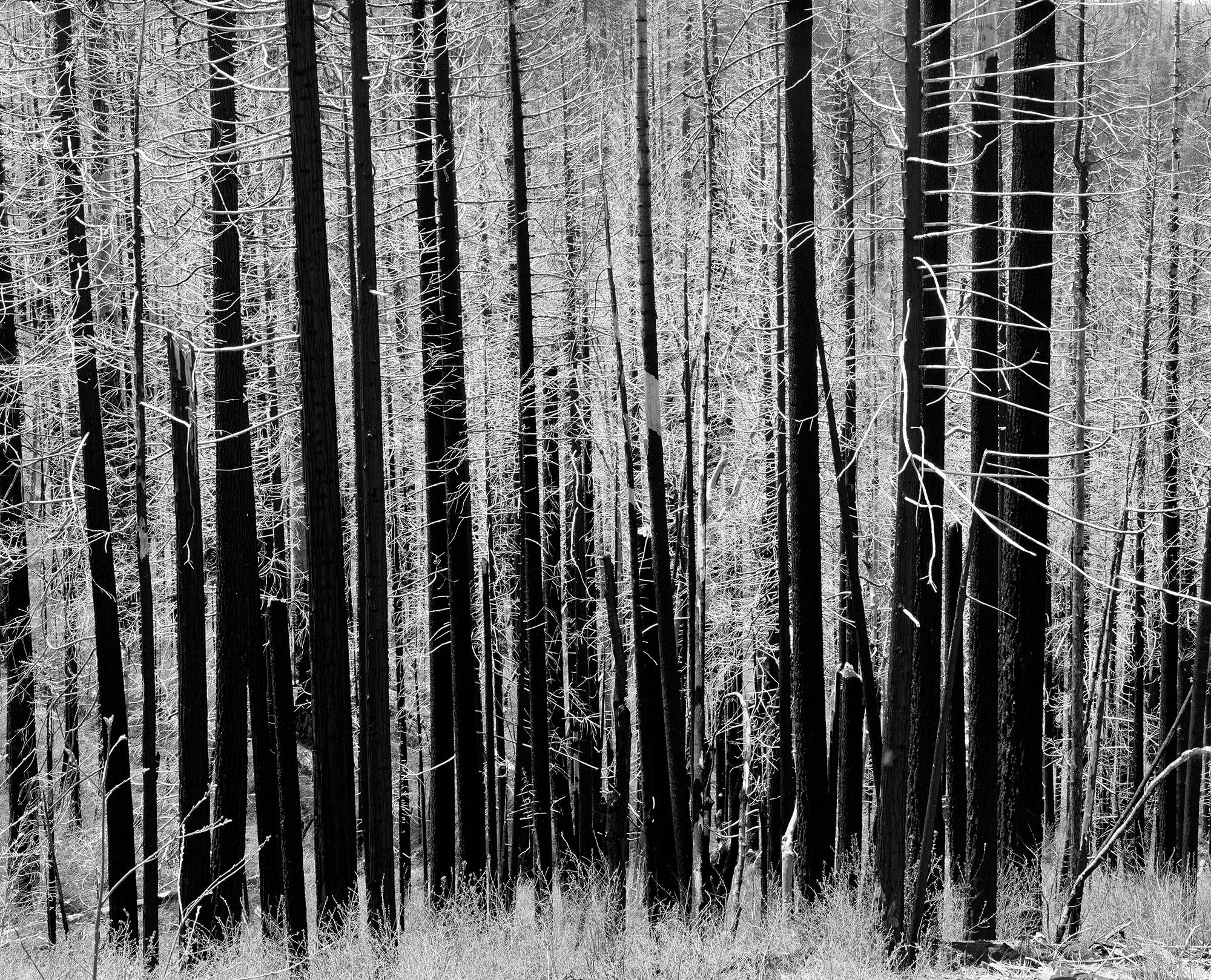 arbres brulés forêt Yosemite