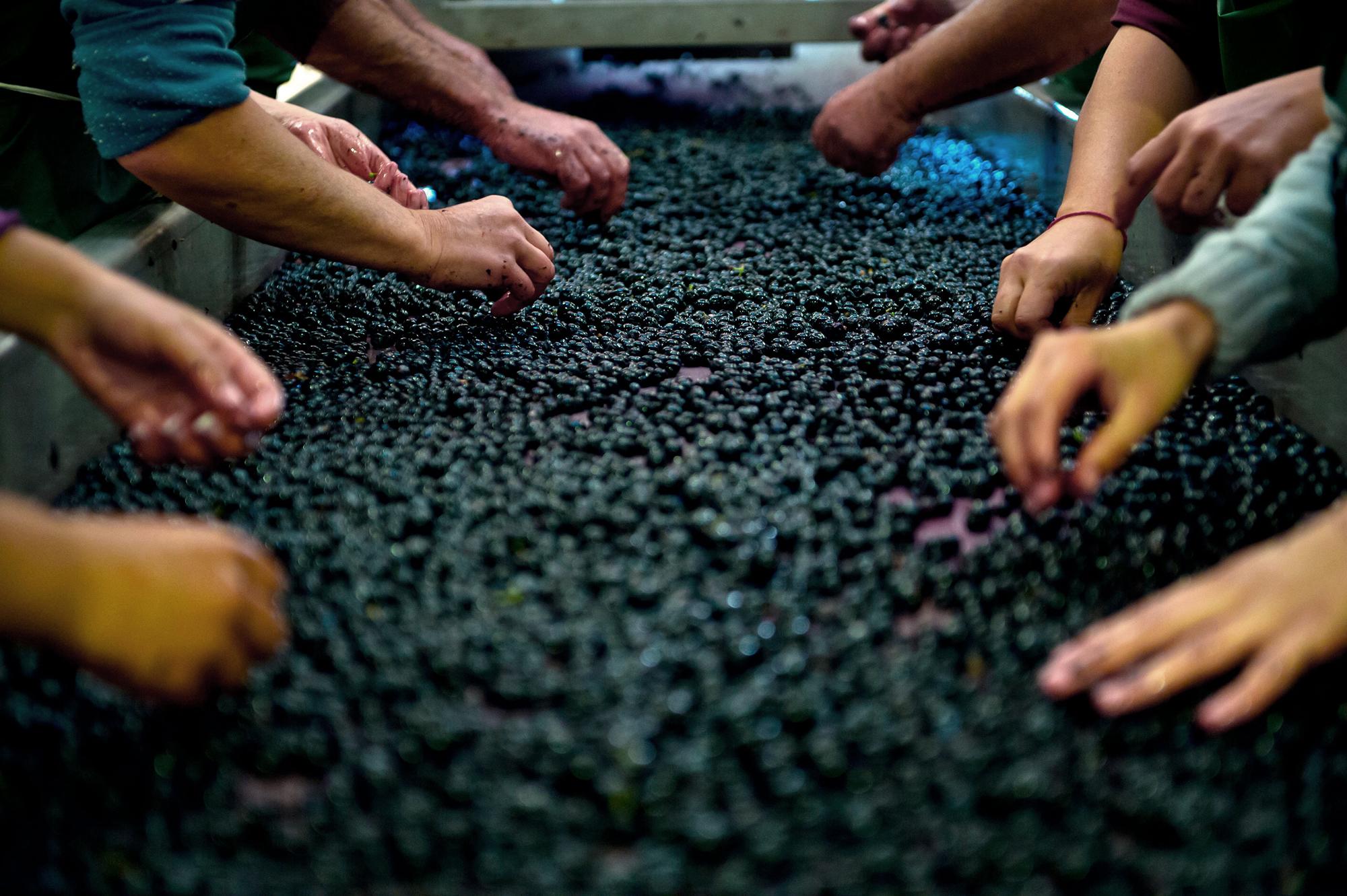 la vigne tri raisin