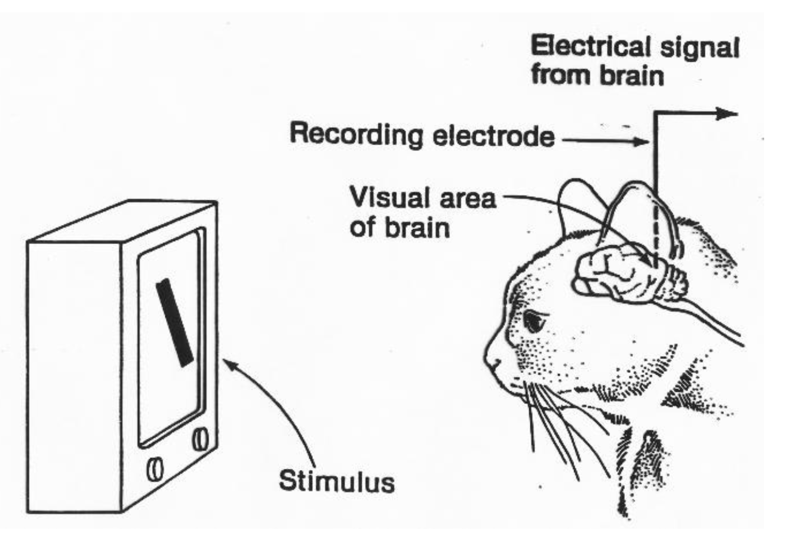 Hubel and Wiesel experiment on how brain processes visual information