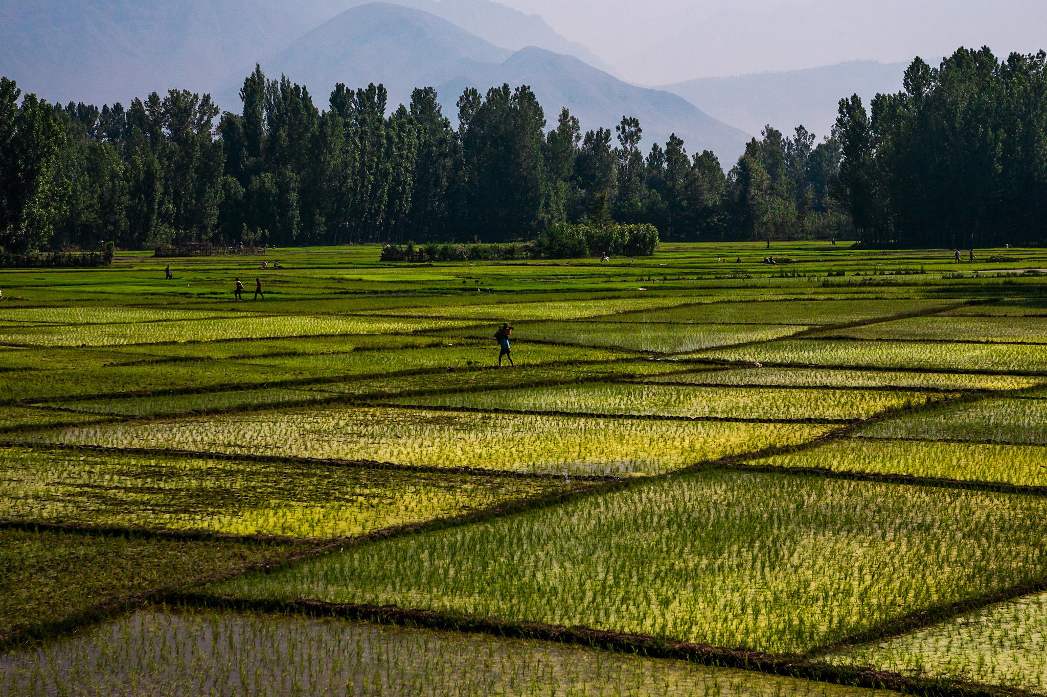 Farmers working in rice paddies