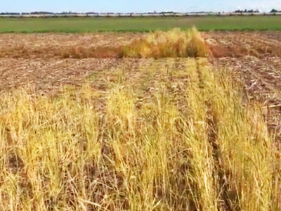 Southern Indiana Cover Crop Termination Trials