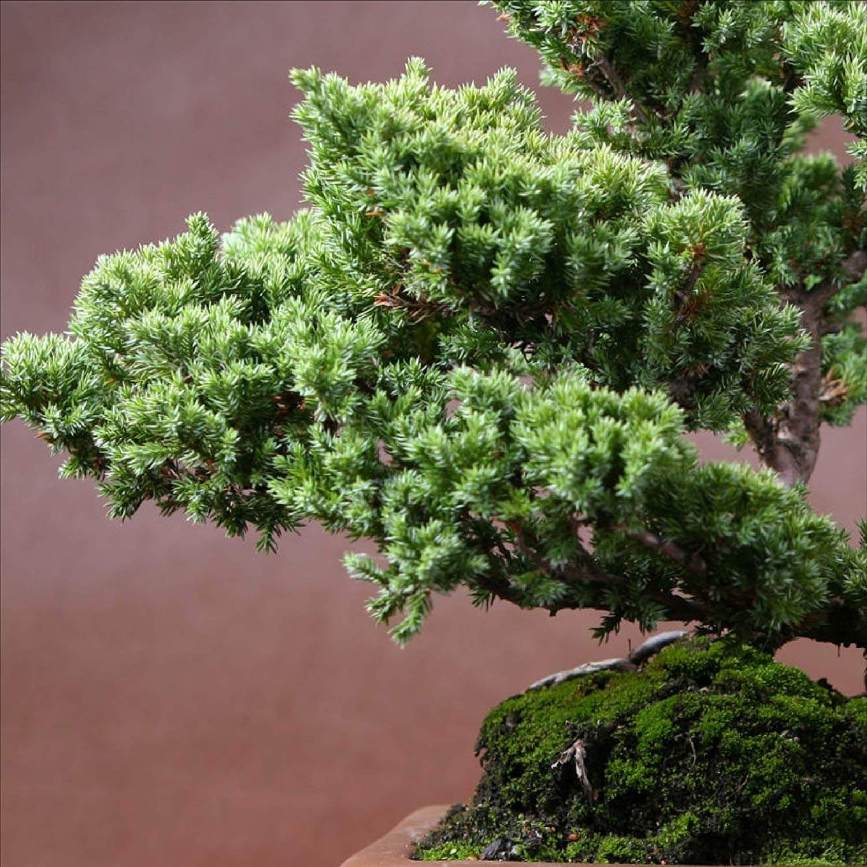 A bonsai juniper tree.
