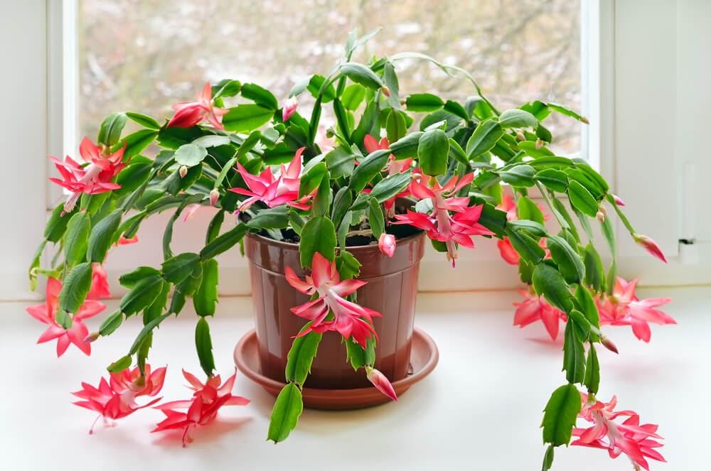 Pink flowering Christmas Cactus
