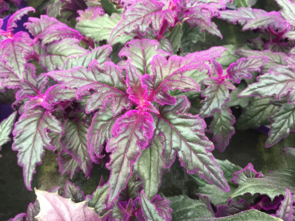 Plant with dark green leaves and velvety pink edges