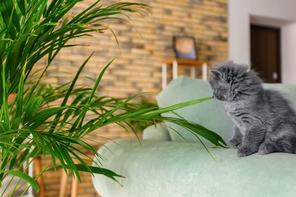 Furry grey kitten with large house plant