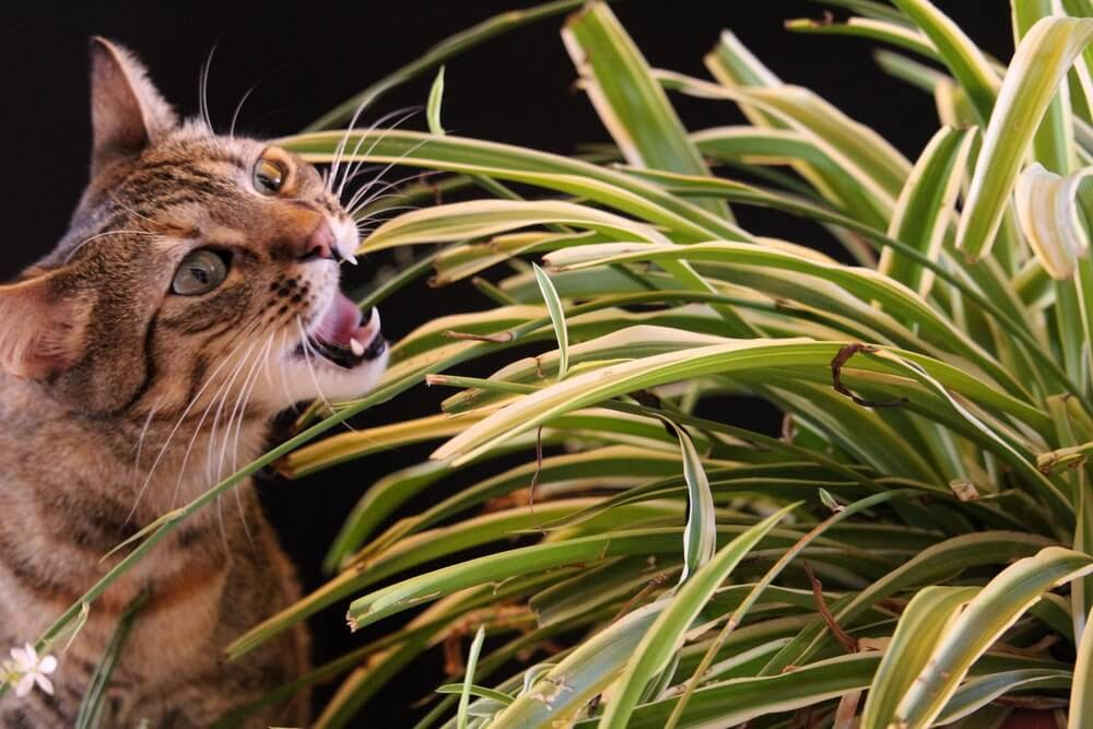 Cat eating Spider Plant