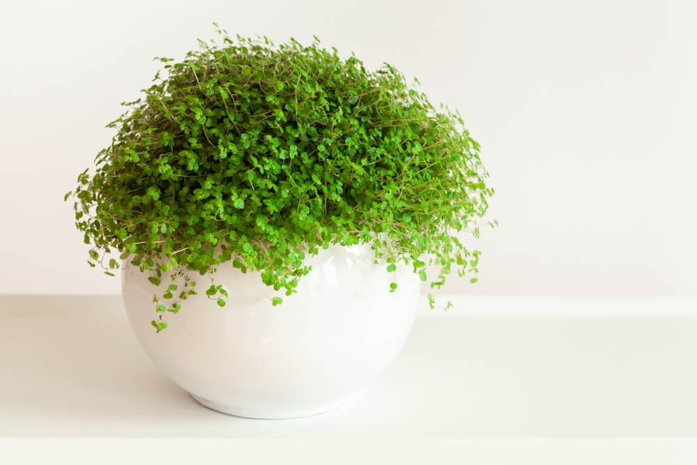 Plant with tiny green leaves in big white pot