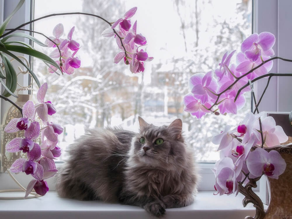 Longhaired cat with pink and white orchids in window