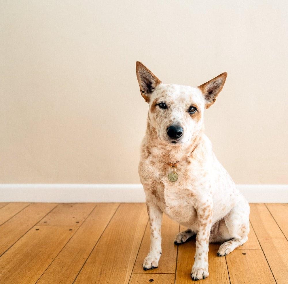 MJLessardArtisan dog collar and tag on dog.