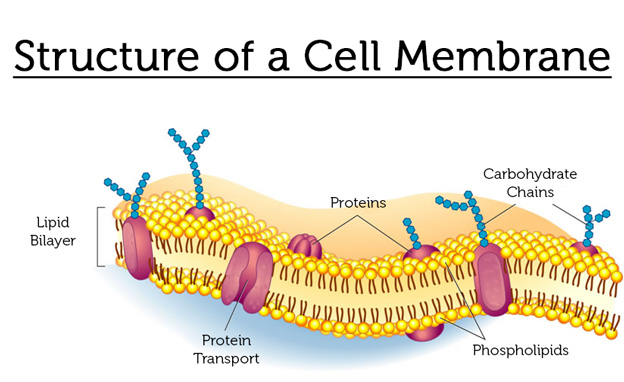 The structure of a cell membrane is key to understanding the benefits of phosphatidyl.
