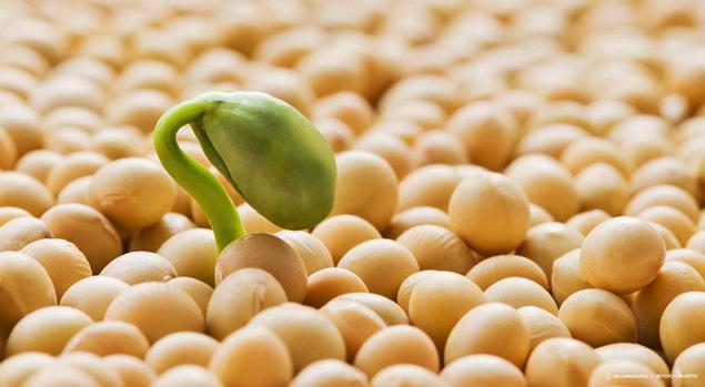 Soybean is an excellent source of phosphatidylserine.