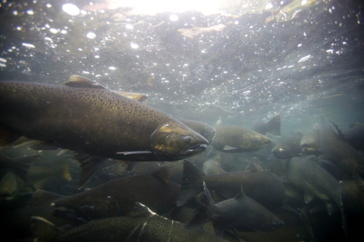 School of Chinook fish in wild river.