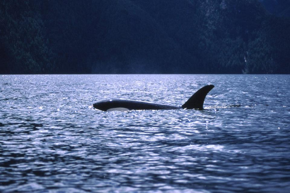 Killer whale head to dorsal fin extending above the water, with forest covered slope behind.