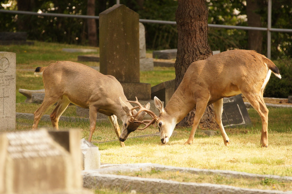 Two bucks locking antlers at Victoria's Ross Bay Cemetery.