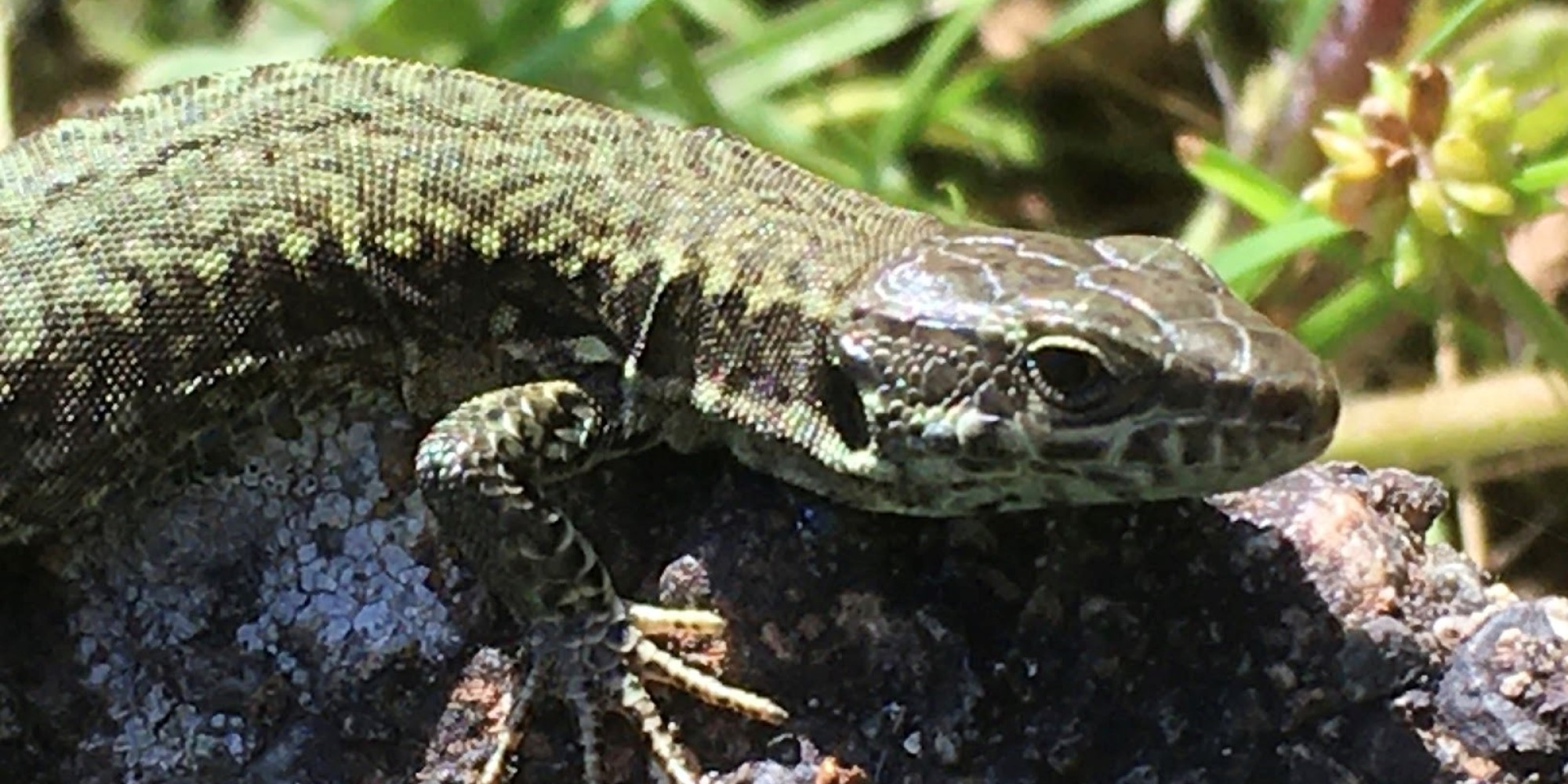 How a roadside zoo unleashed a lizard invasion on Victoria