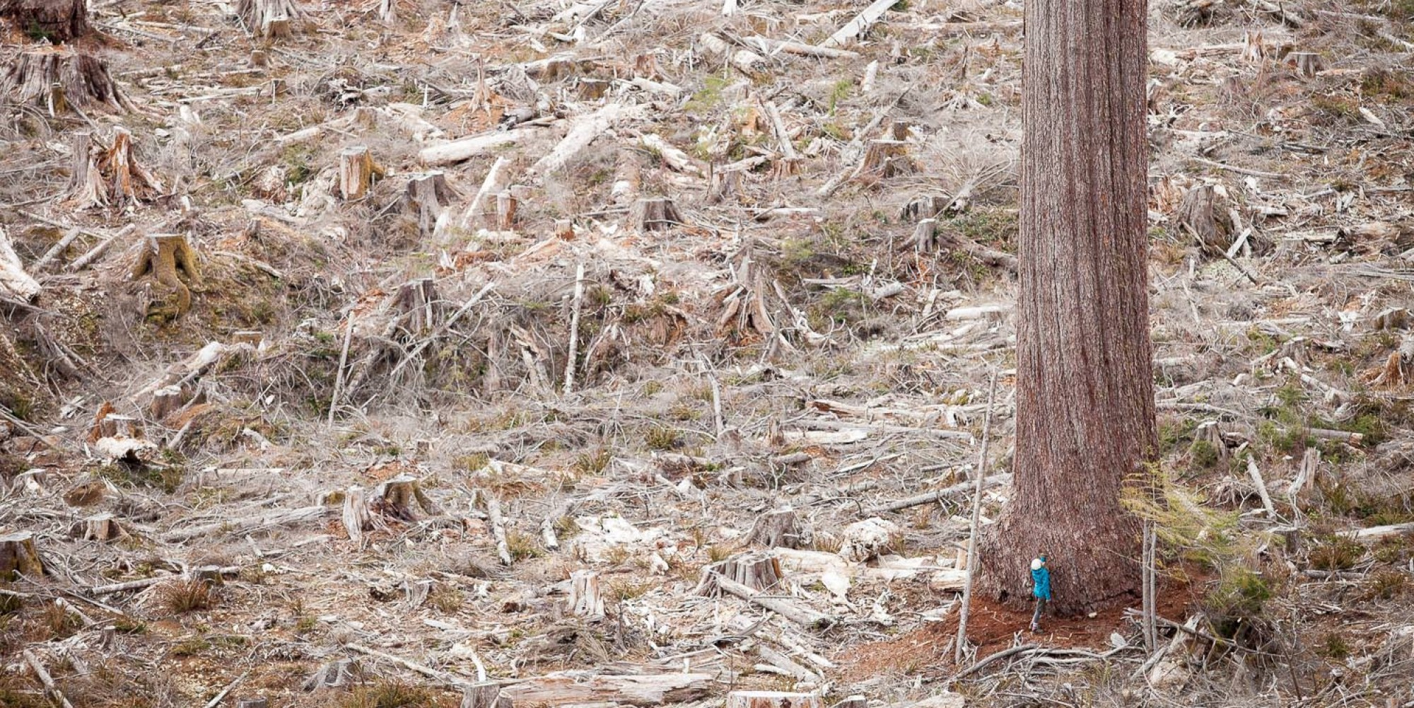 Is BC cutting down all its old-growth forest?
