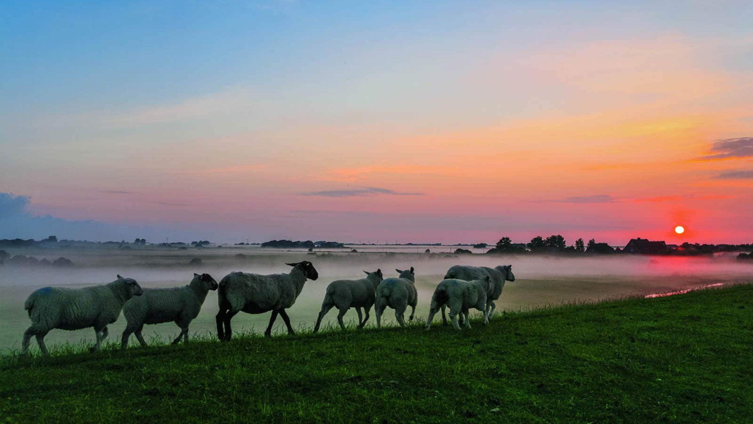 Schafe auf dem Damm