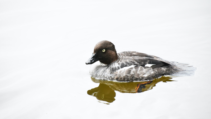 Breeding Ducks Down Slightly Overall Populations Good