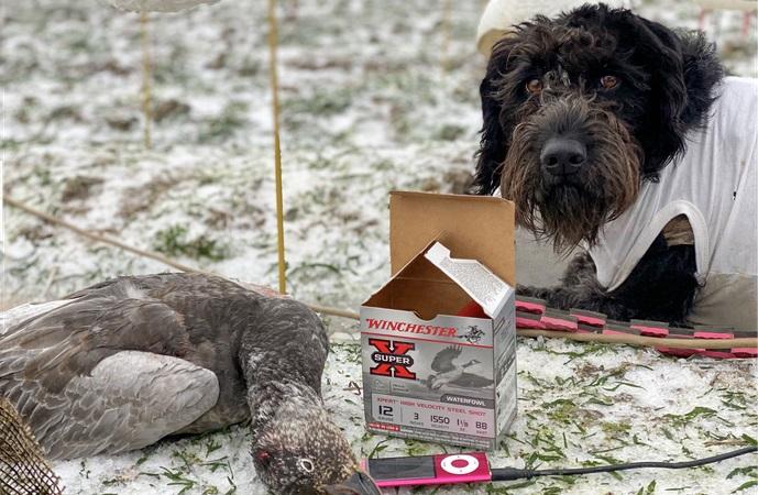Arkansas Snow Goose Hunting Looking Good
