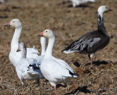 Snow geese come in white and blue phases.