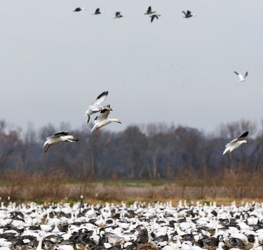 Snow geese fly in flocks numbering the thousands.