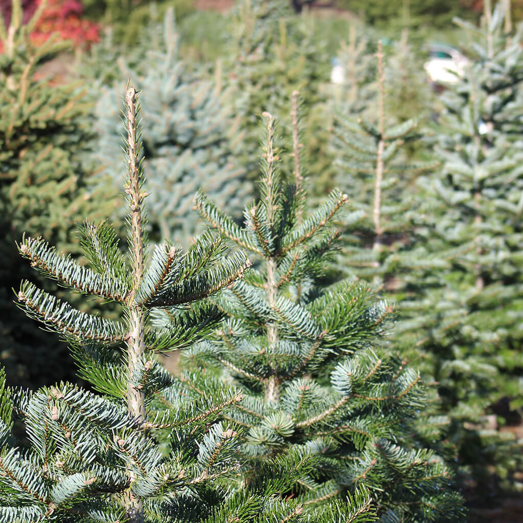 Christmas tree tents sales rentals in Phoenix Arizona
