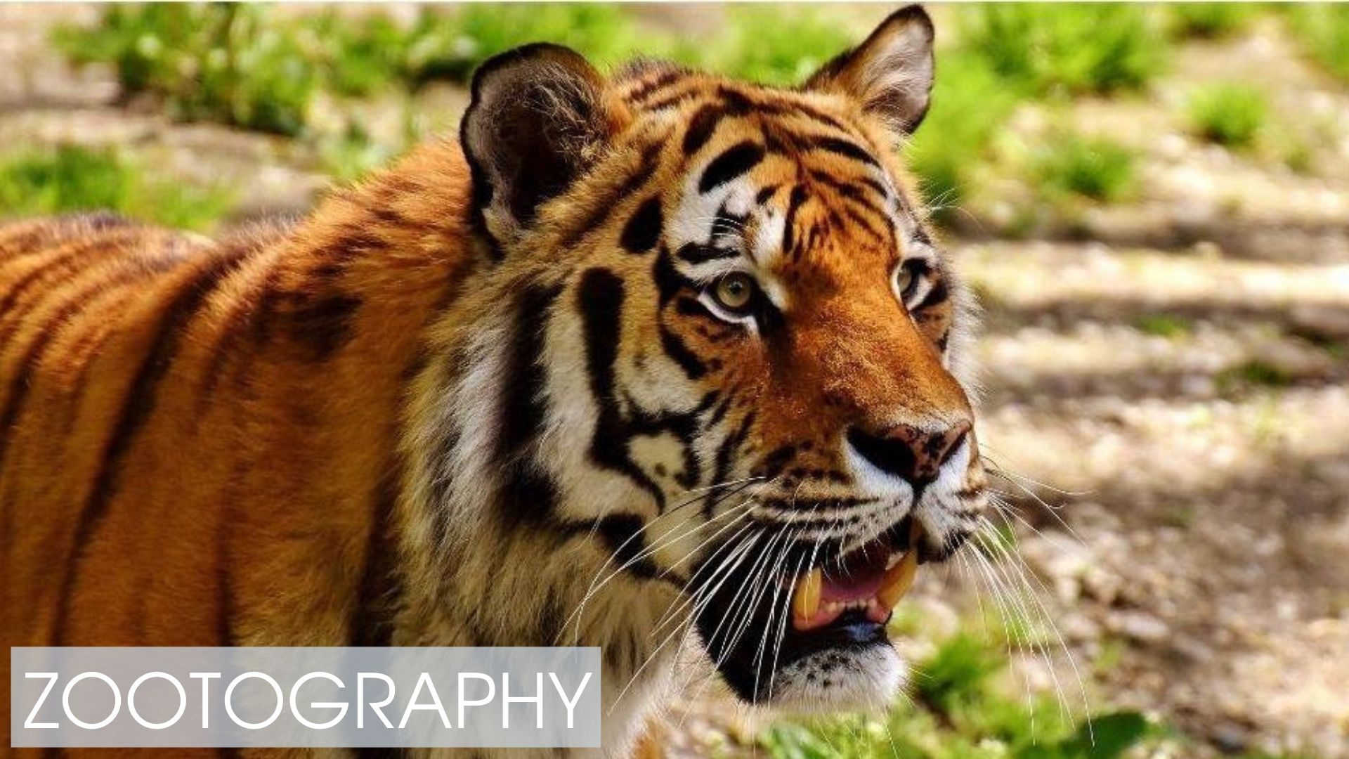 Zootography - Looking to add some ferocity to your zoo images? - Free Online Class