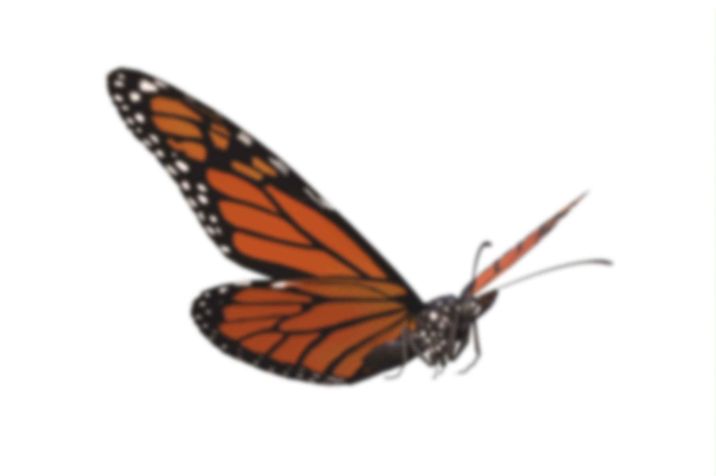 A Monarch butterfly floating and flying.