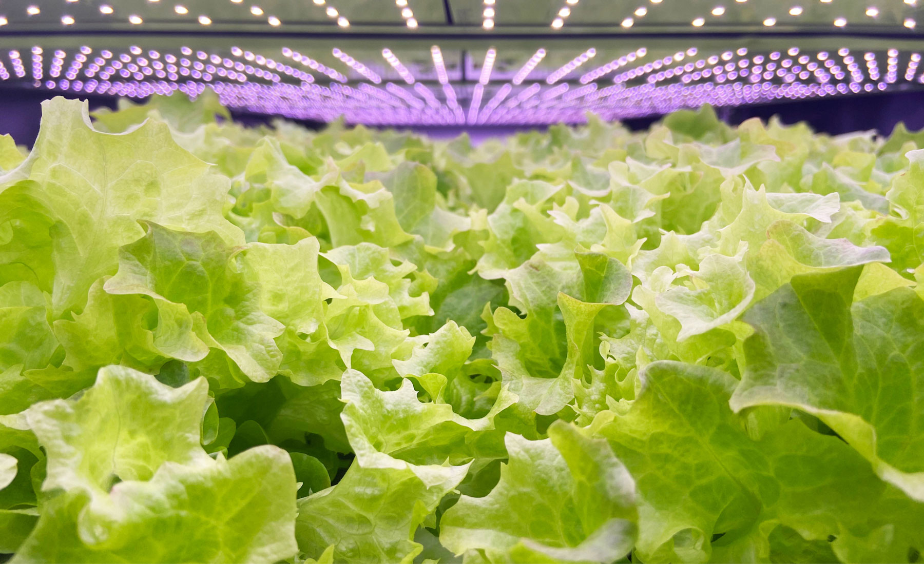 the lettuce that grows using vertical farming