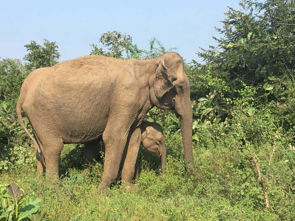 Safari in Udawalawe National Park