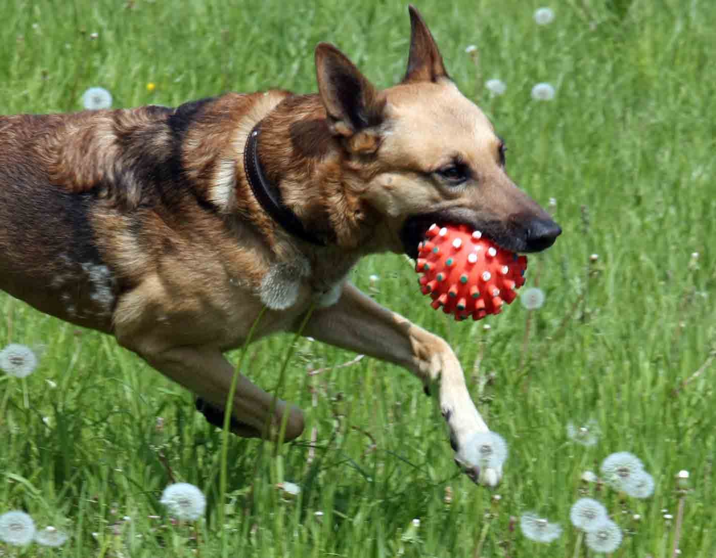 dog with ball in mouth running in a field