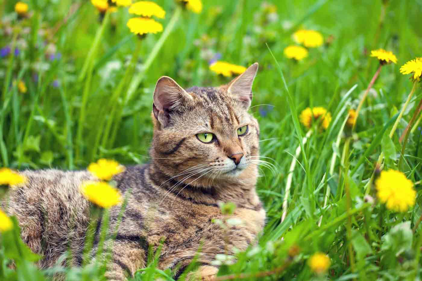 cat with green eyes laying in a field of yellow flowers