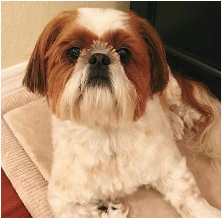 shihtzu-instagram-champ-Unique-Male-Dog-Names